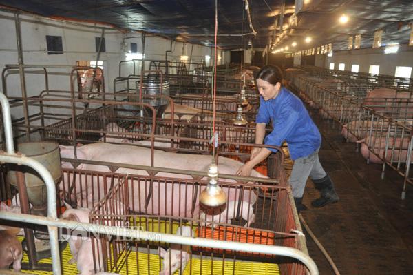 Theo ghi nhận của phóng viên, bên cạnh giá lợn hơi, giá lợn giống cũng đang được giá khoảng từ 500.000 đồng 700.000 đồng/con trên dưới 10kg/con