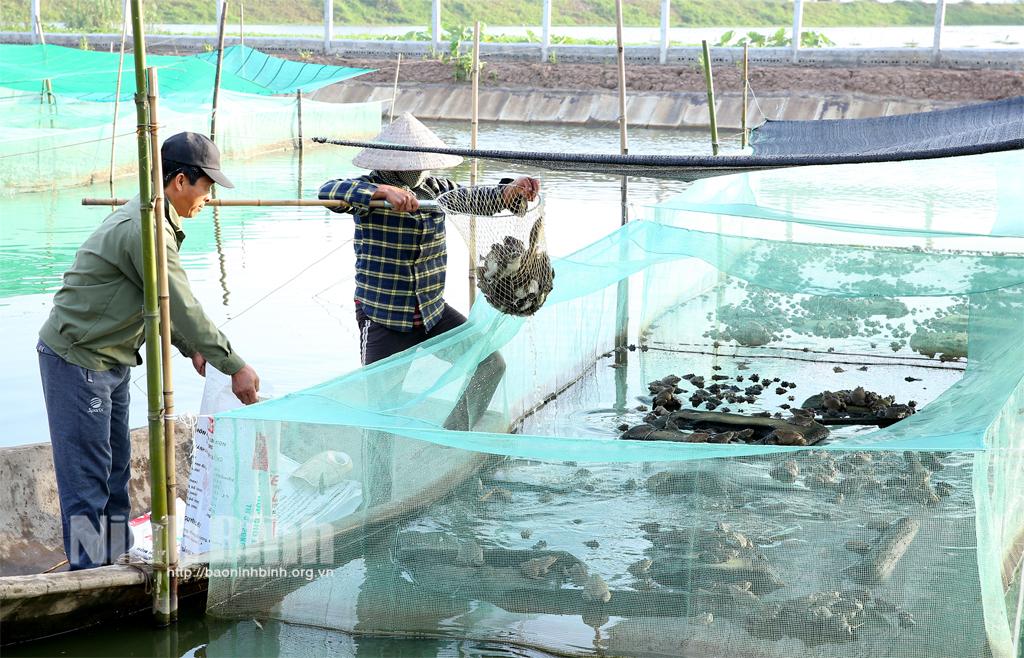 Gia đình anh Trần Văn Sâm (HTX Mai Sơn) thu hoạch ếch. Ảnh: Anh Tuấn